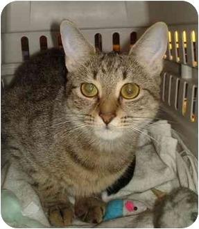 Domestic Shorthair Cat for adoption in Chesapeake, Virginia - Angel