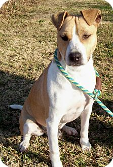 Labrador Retriever/American Pit Bull Terrier Mix Dog for adoption in Glastonbury, Connecticut - JACKMON-Courtesy Posting
