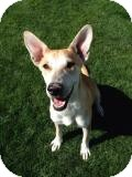 Carolina Dog Mix Dog for adoption in Gilbert, Arizona - CONFETTI