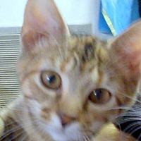 Domestic Mediumhair Kitten for adoption in Madisonville, Louisiana - E.J.