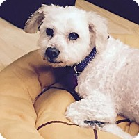 Poodle (Miniature) Mix Dog for adoption in Staten Island, New York - Stevie