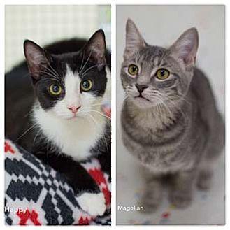 Domestic Shorthair Kitten for adoption in Merrifield, Virginia - Happy
