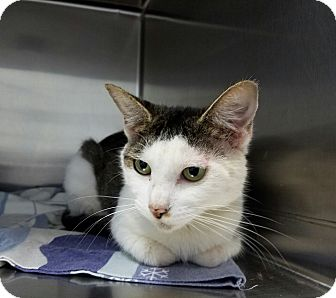 Domestic Shorthair Cat for adoption in Elyria, Ohio - Bloomers