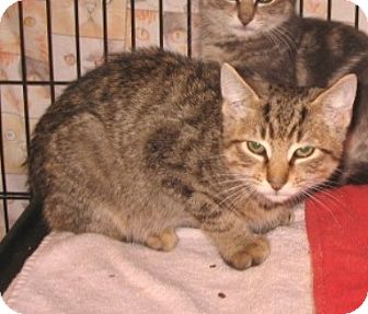 Domestic Shorthair Kitten for adoption in Colmar, Pennsylvania - Colin
