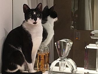 Domestic Shorthair Cat for adoption in Sunny Isles Beach, Florida - Chanel