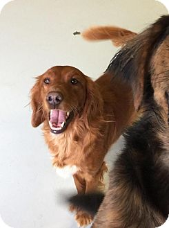 Golden Retriever/Irish Setter Mix Dog for adoption in New Canaan, Connecticut - Myia