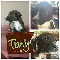Adopt A Pet :: Tony - LAKEWOOD, CA