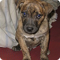 Adopt A Pet :: Tank-ADOPTED - Somerset, KY