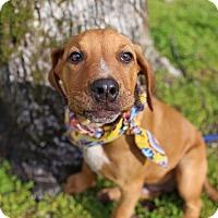 Adopt A Pet :: Larry - Harrisonburg, VA