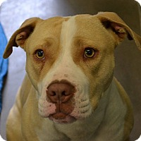 Adopt A Pet :: Roxy - Las Vegas, NV