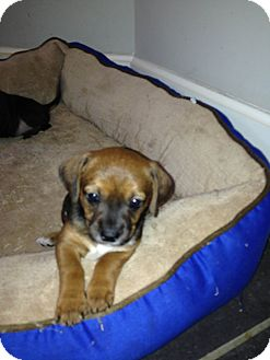 Rat Terrier Mix Puppy for adoption in Groton, Massachusetts - June