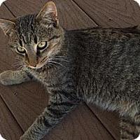 Domestic Shorthair Cat for adoption in Rohrersville, Maryland - Hemmingway