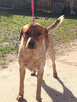 Australian Cattle Dog/Pointer Mix Dog for adoption in Baton Rouge, Louisiana - Busta
