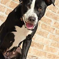 Adopt A Pet :: Bonnie Brown - Spring, TX