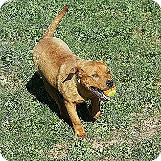Boxer/Labrador Retriever Mix Puppy for adoption in Ararat, Virginia - Rudy