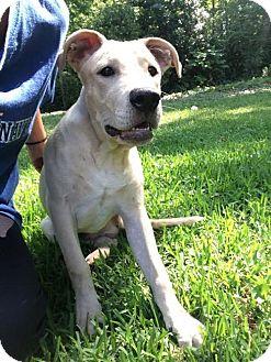 Labrador Retriever/Beagle Mix Dog for adoption in Loganville, Georgia - Haggard