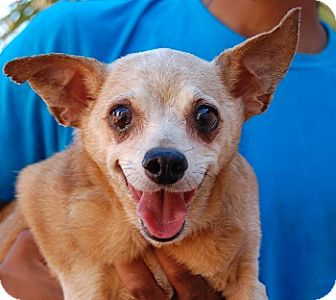 Chihuahua Mix Dog for adoption in Las Vegas, Nevada - Gina
