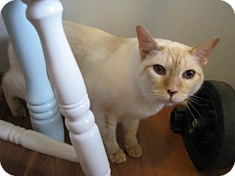 Siamese Cat for adoption in Lindsay, Ontario - Timone