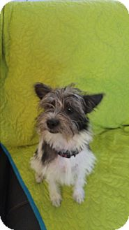 Cairn Terrier/Terrier (Unknown Type, Small) Mix Dog for adoption in LAKEWOOD, California - Harely