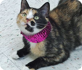 Domestic Shorthair Cat for adoption in Chambersburg, Pennsylvania - Dolly