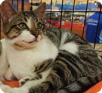 Domestic Shorthair Kitten for adoption in Powder Springs, Georgia - RIZZO