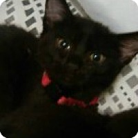 Adopt A Pet :: Han Solo - McHenry, IL
