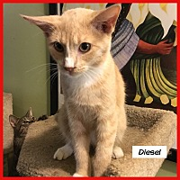Adopt A Pet :: Diesel - Miami, FL