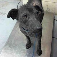 Adopt A Pet :: DANCE - Conroe, TX
