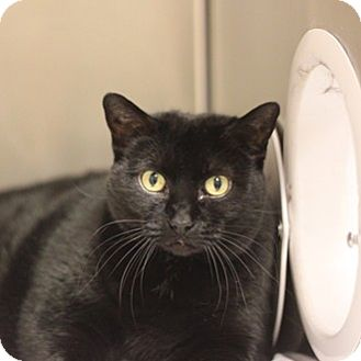 Domestic Shorthair Cat for adoption in Naperville, Illinois - Lyra
