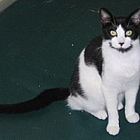 Domestic Shorthair Cat for adoption in Jacksonville, Florida - Mickey 0324