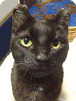 Domestic Shorthair Cat for adoption in N. Billerica, Massachusetts - PJ
