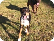 Terrier (Unknown Type, Small)/Jack Russell Terrier Mix Dog for adoption in Knoxville, Tennessee - Connor