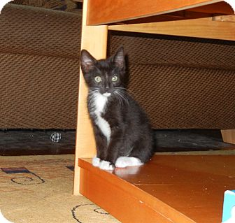 Domestic Shorthair Kitten for adoption in Southington, Connecticut - Baby Pee Wee