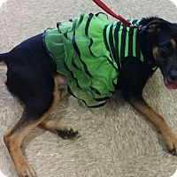 Adopt A Pet :: Bella - Miami, FL