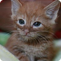 Adopt A Pet :: Giovanni - Canoga Park, CA