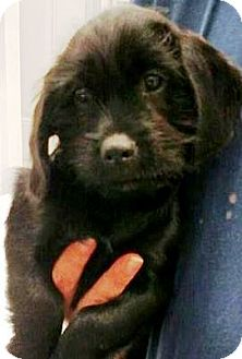 """Labradoodle Mix Puppy for adoption in Oswego, Illinois - Butttons and Bo """"Bo"""""""