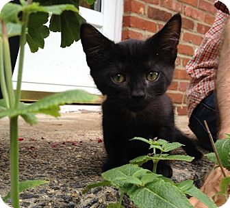 Domestic Shorthair Kitten for adoption in Gainesville, Virginia - Yoda