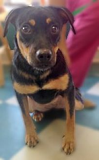 Miniature Pinscher Mix Puppy for adoption in Clifton Forge, Virginia - Rosie-minpin