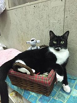 Domestic Shorthair Cat for adoption in St. James City, Florida - Nina
