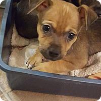 Adopt A Pet :: Cuddles - Houston, TX
