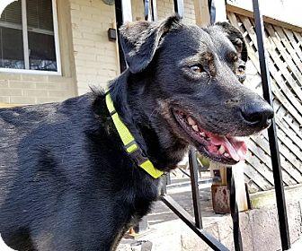 German Pinscher/Labrador Retriever Mix Dog for adoption in Hamilton, Ontario - Sammy