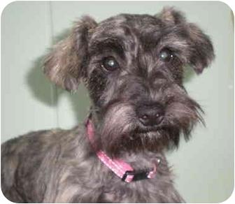 Schnauzer (Miniature)/Poodle (Miniature) Mix Puppy for adoption in Elk City, Oklahoma - Tickle