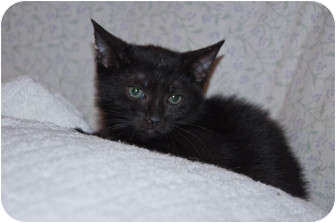 Domestic Shorthair Kitten for adoption in New Egypt, New Jersey - Shadow