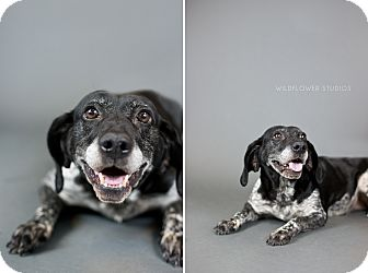 Springer Spaniel/Hound (Unknown Type) Mix Dog for adoption in Muskegon, Michigan - Dayanira
