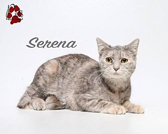 Domestic Shorthair Cat for adoption in Laconia, Indiana - Serena