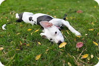 American Bulldog/American Pit Bull Terrier Mix Puppy for adoption in Cleveland, Ohio - Tink