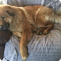 Adopt A Pet :: Chili - Cerritos, CA