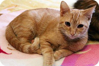 Domestic Shorthair Kitten for adoption in Wichita, Kansas - Ginny
