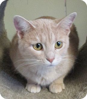 Domestic Shorthair Cat for adoption in Reeds Spring, Missouri - Mary Kate