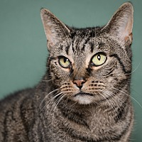 Domestic Shorthair Cat for adoption in Whitehall, Pennsylvania - Brooklyn